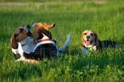 O alerta dos cientistas não se concretizou. Foto: beagles recuperados, atualmente.