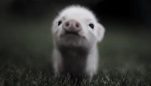 porco bebe preto e branco