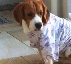 Sir Willians – beagle resgatado e tomado da família, pelo Instituto, ainda não foi encontrado.