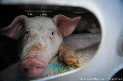 foto 8 porco