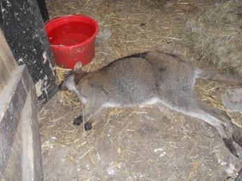 Esse canguru morreu e foi largado apodrecendo por funcionários na Fazenda-Zoológico Tweddle, por duas semanas. Eles se recusaram a fazer uma autópsia para descobrir as causas da sua morte.