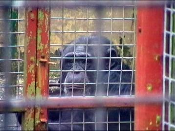 Manter um animal inteligente e complexo socialmente, como chimpanzés, não fará a menor diferença na proteção das espécies ameaçadas em extinção na natureza.
