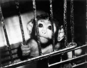 Modelo animal tem produzido informações enganosas e inadequadas sobre a compreensão das doenças humanas.