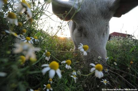 porco 6