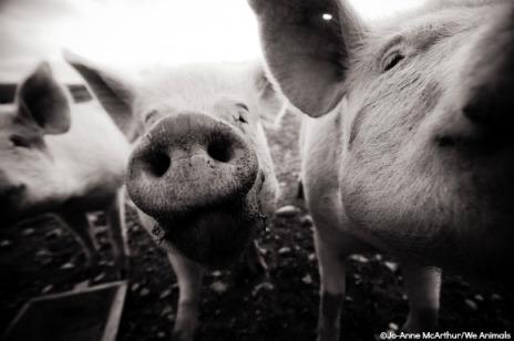 porcos 1