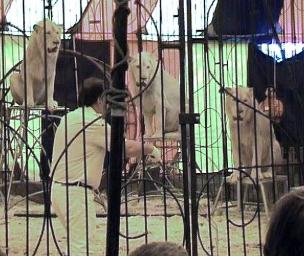 Esses leões do West Midland Safari Park foram enviados a um treinador de circos, para aprenderem truques.
