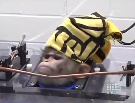 Um macaco com eletrodos implantados no cérebro - a face da tortura.