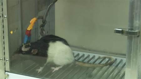 rato teste miguel nicolelis