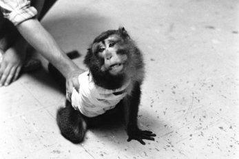 O macaco acima havia passado por uma cirurgia que seccionou seus nervos espinhais