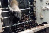 Os macacos viviam em meio à sujeiras e excrementos