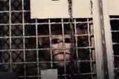 Esta é Sarah - ela foi obtida pelo instituto um dia após o nascimento. Ela permaneceu durante 8 anos confinada em uma minúscula e estéril gaiola