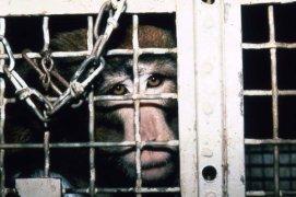 Billy, um dos macacos mais torturados do laboratório. Sem o movimento dos dois braços, ele ficou incapaz de se alimentar normalmente