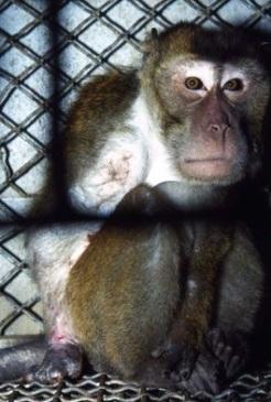 Sem os dedos da mão direita, um dos macacos ficava constantemente encolhido na sua gaiola de 18 polegadas