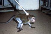 Essa é a vara de estrangulamento, que era utilizada para movimentar os macacos de suas gaiolas para a câmara de condicionamento