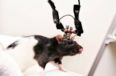 """Nicolelis produz lesões cerebrais em animais, no intuito de obter um """"modelo"""" para o Parkinson."""