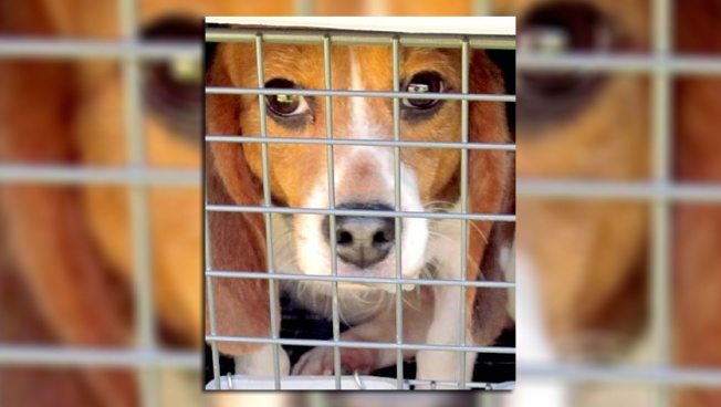 beagle testes em animais