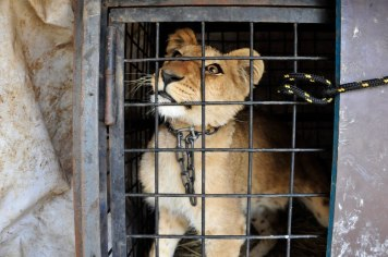 Criação de animais em cativeiro não pode proteger os reais de perigos de extinção que as espécies ocorrem ambiente natural.