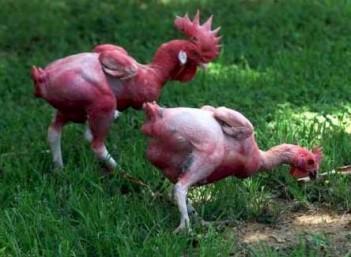 O frango sem penas fez parte de um projeto de um geneticista israelense, em 2002, com o objetivo de um desenvolvimento mais rápido na pecuária.