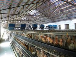 Criação industrial de galinhas.