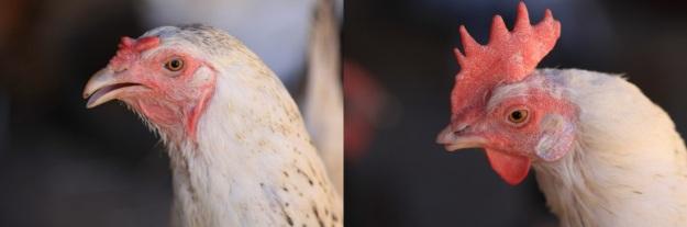 À esquerda uma galinha com bico normal. À direita uma galinha com bico cortado.