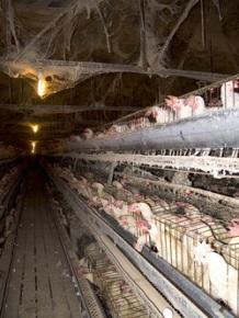 Essa é a criação padrão de galinhas.