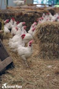 Essas galinhas foram resgatadas de uma fazenda industrial.