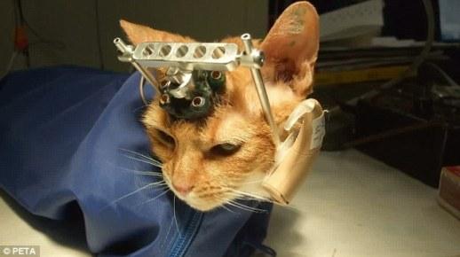 Horripilante: Gatos tiveram seus crânios rachados e abertos antes de eletrodos seres inseridos em seus cérebros. Essa foto foi tirada na Universidade de Winsonsin.