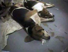 Os cães de laboratório estão condenados ao sofrimento.