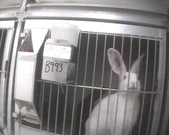 Os coelhos ficam em gaiolas pequenas