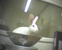 Um coelho sendo pesado antes de ser intoxicado.