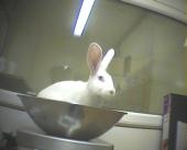 Um coelho sendo pesado antes de ser intoxicado