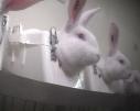 Os coelhos são contidos dessa forma por várias horas