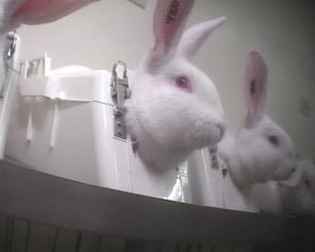 Os coelhos são contidos dessa forma por várias horas.