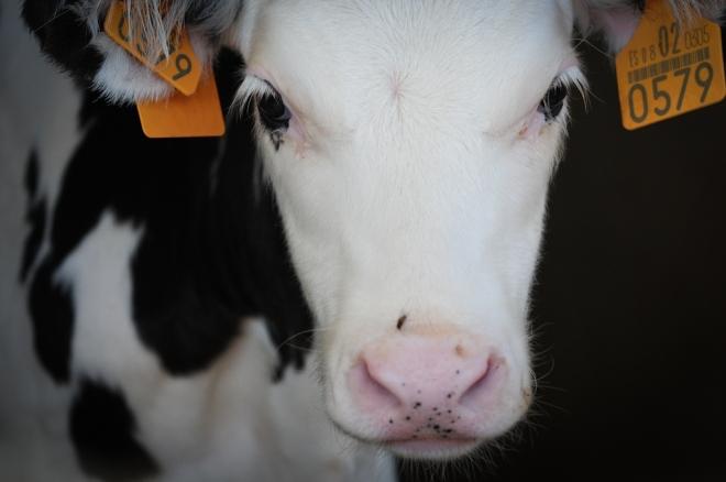 Há mais sofrimento num copo de leite ou em um bife?
