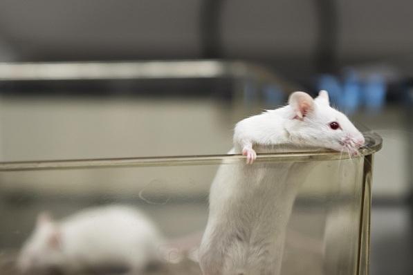 Continuar fazendo testes em animais é jogar dinheiro pelo ralo.