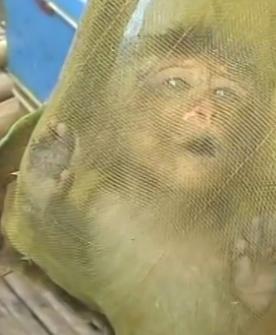 """Filhote de macaco sendo raptado de seu habitat natural - depois disso, ele será transportado para um laboratório de pesquisa """"científica""""."""