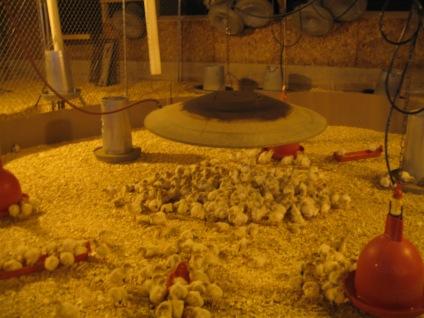 Filhotes de perus ficam aglomerados em busca de uma fonte de calor.