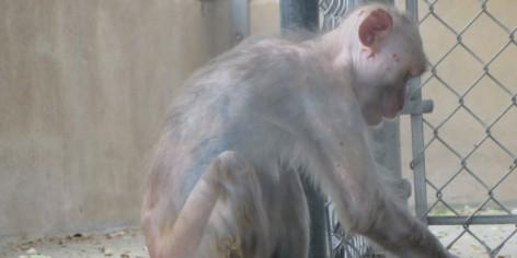 Loretta era constantemente atacada por outros macacos.
