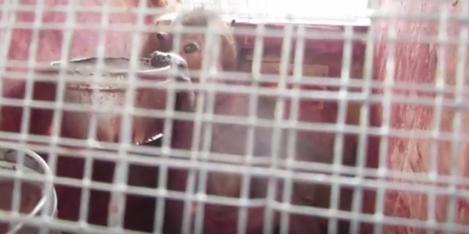 Macaco sendo transportado para laboratório de pesquisa. Foto: Reprodução.