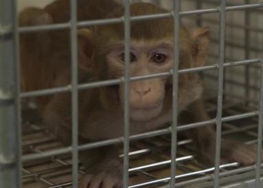 """""""Ainda são gaiolas... Há animais que não suportam essa condição.""""  – Jan, coordenador de pesquisas do BPRC."""