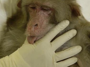 Macaco foi infectado com dengue pela primeira vez; outros são infectados com SIV, uma variação do HIV, que é específico de humanos – macacos são imunes a ele e não desenvolvem AIDS.