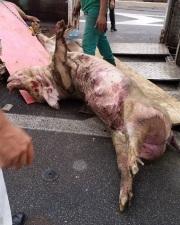 Somente 10 horas após a queda os porcos começaram a ser retirados