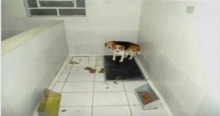 Beagles do Instituto Royal eram mantidos em baias repletas de fezes e com água suja de urina.