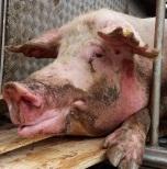 De acordo com ativistas, cerca de 60 animais sobreviveram; agora vivem em um santuário da região