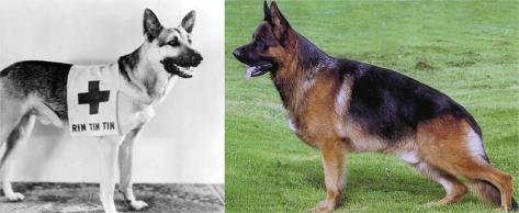 À esquerda, pastor alemão Rin Tin Tin, usado como ator na década de 1950; à direita, podemos ver que alterações na postura de suas patas traseiras, que hoje são mais inclinadas.