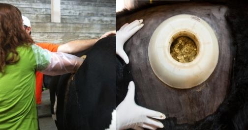 Vacas, como esta da imagem, têm partes do trato digestivo expostas no campus da USP de Piracicaba.