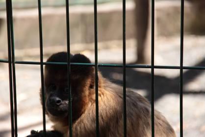 Macacos sob estresse no Zoológico de Piracicaba. (Foto: Alex Peguinelli)