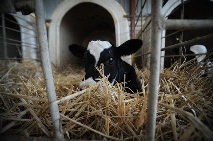 JMcArthur_DairyVealFarm_-0364