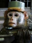 Macaco com uma tampa de metal sobre os eletrodos implantados na sua cabeça.