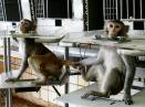Macacos ficam restritos em cadeiras de contenção.